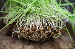 Germinated sprouts of seeds Royalty Free Stock Images