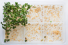 Germinated sprouts and seeds. In a tray royalty free stock image