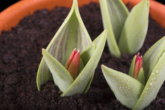 Germinated sprouts tulips with bud Stock Image