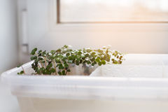 Germinated sprouts on windowsill. Germinated sprouts in a tray on windowsill stock image
