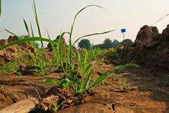 Germinated sugarcane in field Stock Image