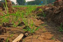 Germinated sugarcane in field Stock Images