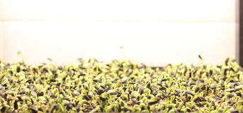 Germinated sunflower seeds Stock Images