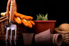 Germinated tulips with buds, garden rake, basket, peat pots and Stock Photo