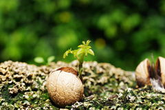 Germinated walnut. With root on soil background Stock Images