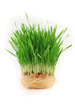 Germinated wheat Stock Photo
