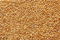Germinated wheat grains as food background. Royalty Free Stock Image