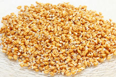 Germinated wheat grains. Stock Photos