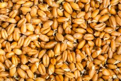 Germinated wheat grass seeds,. Close up Stock Images