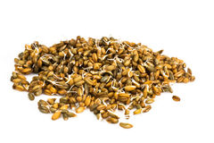 Germinated Wheat, Rye and Barley Stock Images