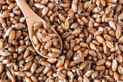 Germinated wheat in a spoon Stock Image