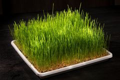 Wheat germinated stock image