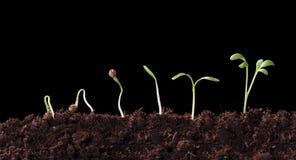 Germinatie van een cilandrozaad Royalty-vrije Stock Foto's