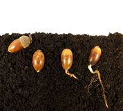 Germinating acorns stock image
