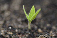 Germinating Aubergine Shoot in Soil. Royalty Free Stock Photography