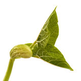 Germinating bean seed Stock Images