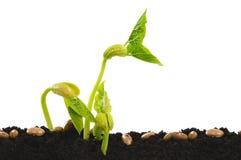 Germinating bean seed Stock Photos