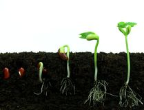 Germinating bean seeds Royalty Free Stock Images