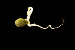 Germinating chickpea Stock Photography