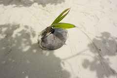 Germinating Coconut. Germinating  coconut on a Tropical beach Stock Photos