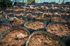 Free Germinating Durian Seedling In The Black Plastic Bag Under The Greenhouse Stock Photos - 139557953