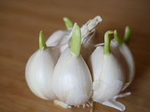 Germinating garlic. On the background of cutting board Stock Images