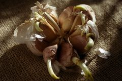 Germinating garlic cloves. On burlap Royalty Free Stock Photography
