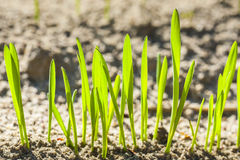 Germinating grain. Germinating grain, young plants in the background of plowed soil Royalty Free Stock Photography