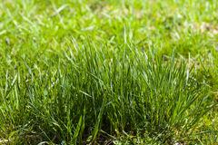 Germinating grass. Germinating grass, young plants in the background of green Stock Photography