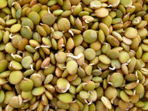 Germinating lentils Stock Image