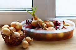 Germinating onion and dry onion. Royalty Free Stock Images