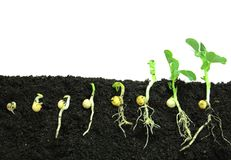 Germinating pea seeds Stock Images