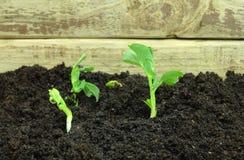 Germinating pea seeds Royalty Free Stock Photos