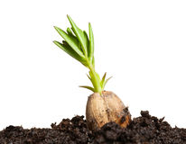 Germinating peanut Royalty Free Stock Images