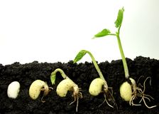 Germinating plant. Germinating beans plants black soil Royalty Free Stock Image