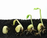 Germinating plants Royalty Free Stock Photography