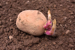 Germinating potato before the planting Stock Photos
