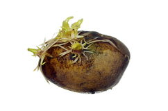 Germinating potato. With roots on white background Stock Images