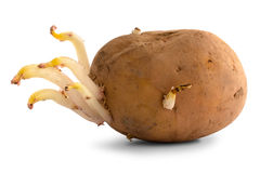 Germinating potato Royalty Free Stock Photography