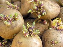 Germinating potatoes Stock Photography