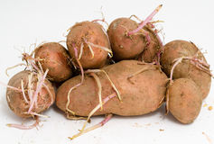 Germinating potatoes. Some germinating potatoes with big long sprouts Royalty Free Stock Photos