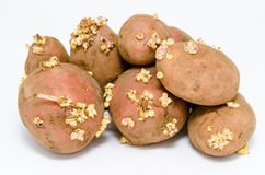 Germinating potatoes Stock Photo