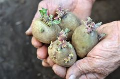 Germinating potatoes in the gardener hands. Close-up of  germinating potatoes in the gardener hands before the planting Stock Image