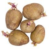 Germinating potatoes on white background Stock Photo
