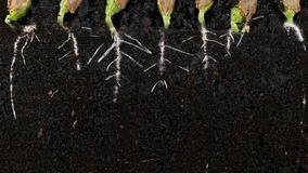 Germinating pumpkin seed roots underground vew with roots