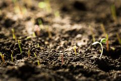 Germinating seed in agriculture. Plant seed agriculture statistics fertilizer sunlight Royalty Free Stock Photos
