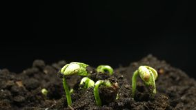 Germinating Seed Growing in Ground Agriculture Spring Summer Plant Timelapse