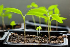 Germination of chilli peppers. Germinating seedlings of chilli peppers Royalty Free Stock Photography