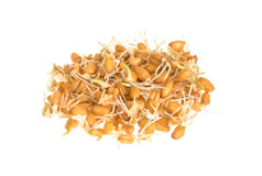 Germinating wheat closeup isolated Royalty Free Stock Images