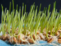 Germinating wheat seeds. Germinating a lot of wheat seeds with green sprouts Stock Photography